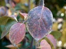 Hojas del caqui en otoño Imagenes de archivo