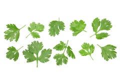 Hojas del cilantro o del coriandro aisladas en el fondo blanco con el espacio de la copia para su texto Visión superior Modelo pl foto de archivo libre de regalías