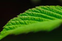 Hojas del ciruelo en el jardín Imagen de archivo libre de regalías