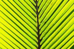Hojas del coco. Fotografía de archivo