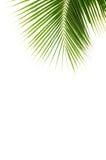 Hojas del coco. fotos de archivo libres de regalías