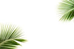 Hojas del coco. imagen de archivo libre de regalías