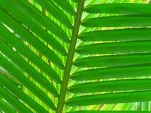 Hojas del coco Fotos de archivo