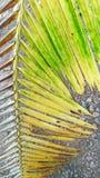 Hojas del coco Fotografía de archivo libre de regalías