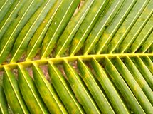 Hojas del coco Foto de archivo