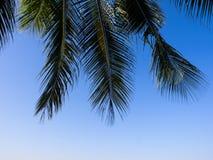 Hojas del coco Imagenes de archivo