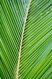 Hojas del coco de la palma Fotos de archivo libres de regalías