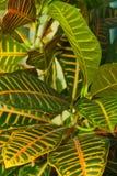 Hojas del Codiaeum del árbol del croton Imagen de archivo