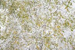 Hojas del color del abedul blanco Imagen de archivo