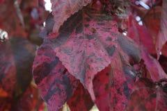 Hojas del color rojo Fotografía de archivo