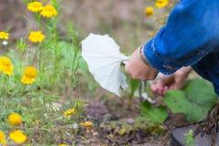 Hojas del coltsfoot de la cosecha de la muchacha para secarse Imagen de archivo