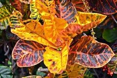 Hojas del Croton fotos de archivo