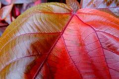 Hojas del Croton u hojas de Rushfoil fotos de archivo libres de regalías