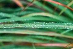 Hojas del Cymbopogon con gotas de lluvia imagenes de archivo