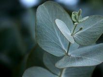 Hojas del eucalipto Fotografía de archivo