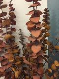 Hojas del eucalipto Imágenes de archivo libres de regalías