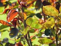 Hojas del follaje de la primavera en crecimiento Fotografía de archivo