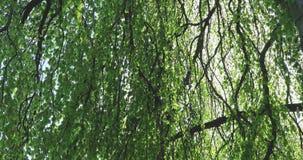 Hojas del follaje del primer del detalle del tronco de las ramas de árbol de haya del roble almacen de video
