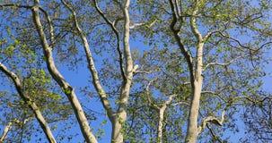 Hojas del follaje del primer del detalle del tronco de las ramas de ?rbol de haya del roble almacen de video