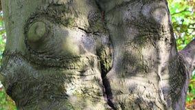 Hojas del follaje del primer del detalle del tronco de las ramas de ?rbol de haya del roble metrajes