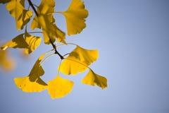 Hojas del Ginkgo en el otoño Fotografía de archivo