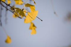 Hojas del Ginkgo en el otoño Imagen de archivo libre de regalías