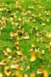 Hojas del Ginkgo que caen en hierba Fotografía de archivo