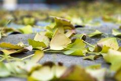 Hojas del ginko de la caída del otoño Fotos de archivo libres de regalías