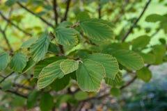 Hojas del híbrido mágico del Hamamelidaceae del Hamamelis de la planta de la nuez imágenes de archivo libres de regalías