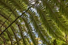 Hojas del helecho de árbol vistas de debajo Imágenes de archivo libres de regalías