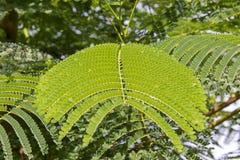 Hojas del helecho en las zonas tropicales Fotografía de archivo
