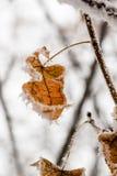 Hojas del invierno cubiertas con nieve y escarcha Imagen de archivo libre de regalías