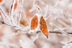 Hojas del invierno cubiertas con nieve y escarcha Imagenes de archivo