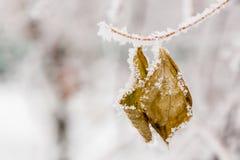 Hojas del invierno cubiertas con nieve y escarcha Imagen de archivo
