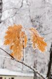 Hojas del invierno cubiertas con nieve y escarcha Foto de archivo libre de regalías