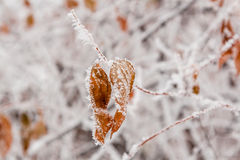 Hojas del invierno cubiertas con nieve y escarcha Imágenes de archivo libres de regalías