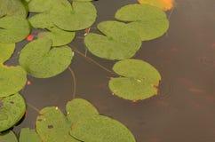 hojas del lilypad en la charca Imagen de archivo libre de regalías