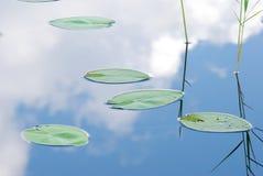 Hojas del lirio de agua Imágenes de archivo libres de regalías