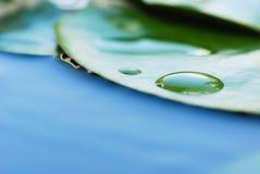 Hojas del lirio de agua Fotografía de archivo
