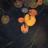 Hojas del lirio de agua contra fondo negro Imagen de archivo libre de regalías