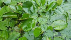hojas del lirio de agua en superficie del agua imagen de archivo