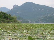 Hojas del lirio en el lago Skadar, Montenegro Fotos de archivo libres de regalías