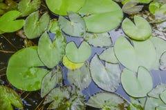 Hojas del loto en la piscina Fotos de archivo