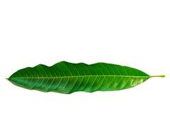 Hojas del mango en el fondo blanco Imagen de archivo