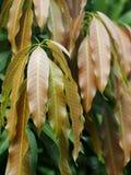 Hojas del mango en el árbol Foto de archivo