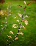 Hojas del manzano en el otoño Fotos de archivo