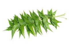 hojas del neem imágenes de archivo libres de regalías