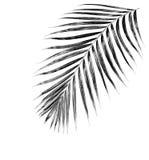 Hojas del negro de la palmera imagenes de archivo