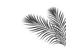 Hojas del negro de la palmera ilustración del vector