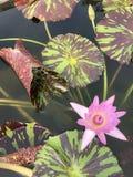 Hojas del nouchali del Nymphaea o del lirio de agua de la estrella Imágenes de archivo libres de regalías